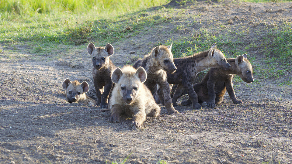 Squandering inherited rank may have life-and-death consequences for hyenas