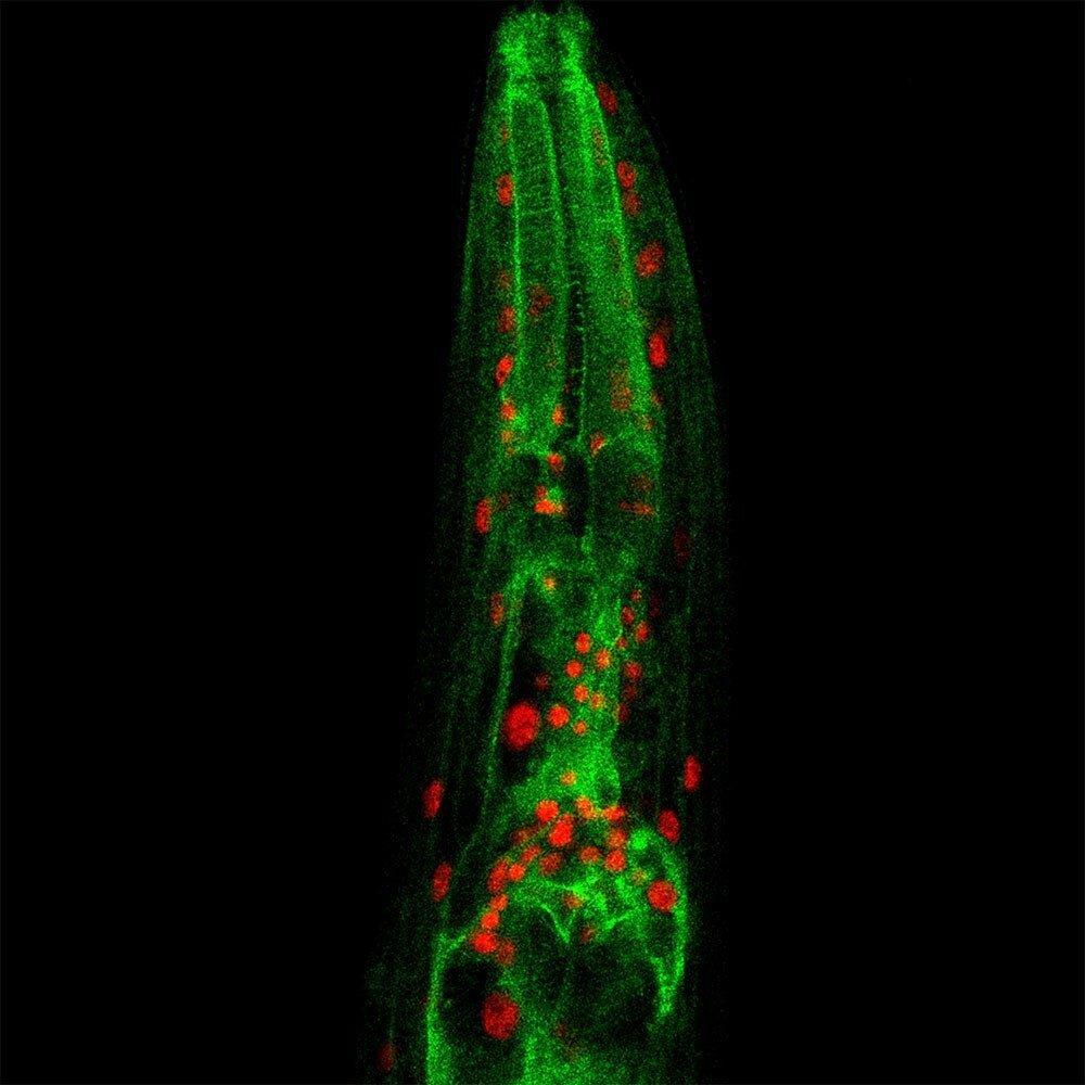 Lysosome to mitochondria communication regulates longevity
