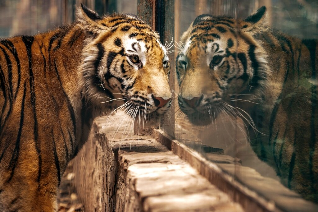 The tiger's owner had responded to a campaign to avoid abandoning animals during the COVID-19 lockdown