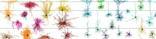 The tree of cortical cell types describes the...