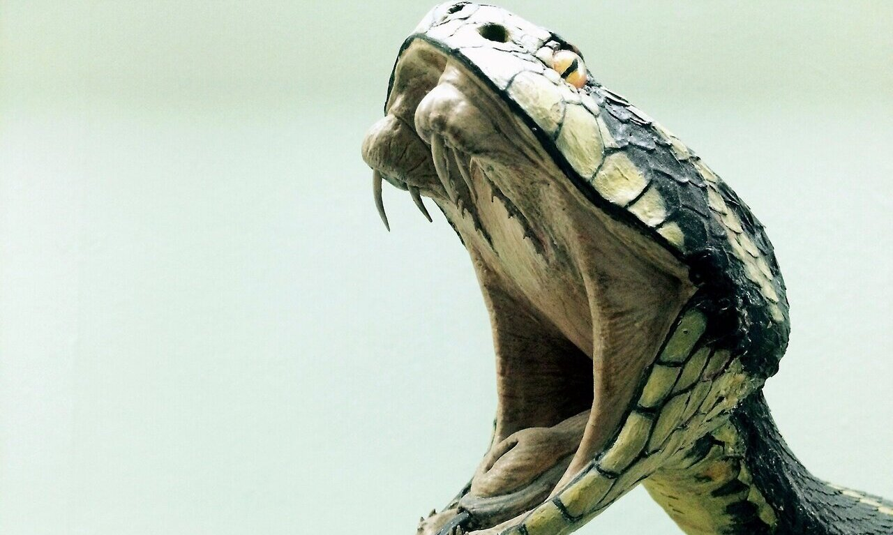 Snake Venom Evolved For Prey Not Protection