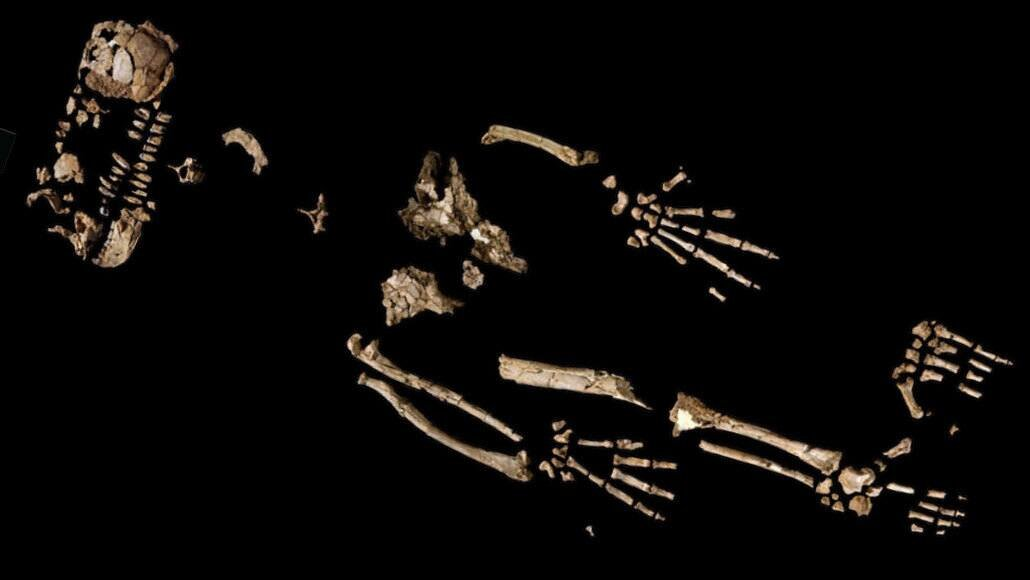 A 4.4 million-year-old skeleton could reveal how early humans began to walk upright