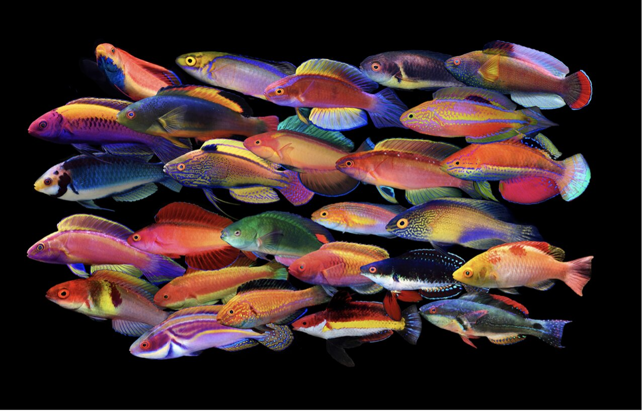Wrasses dazzle: How fairy wrasses got their flamboyant colours - Phys.org