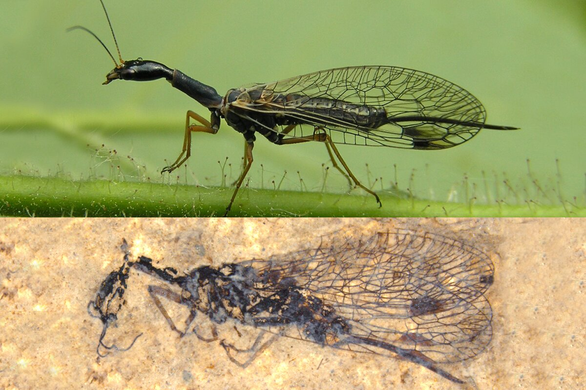 Fossil discovery deepens snakefly mystery