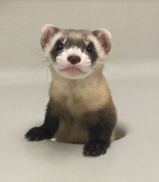 photo of Black-footed ferret cloned to help preserve endangered species image