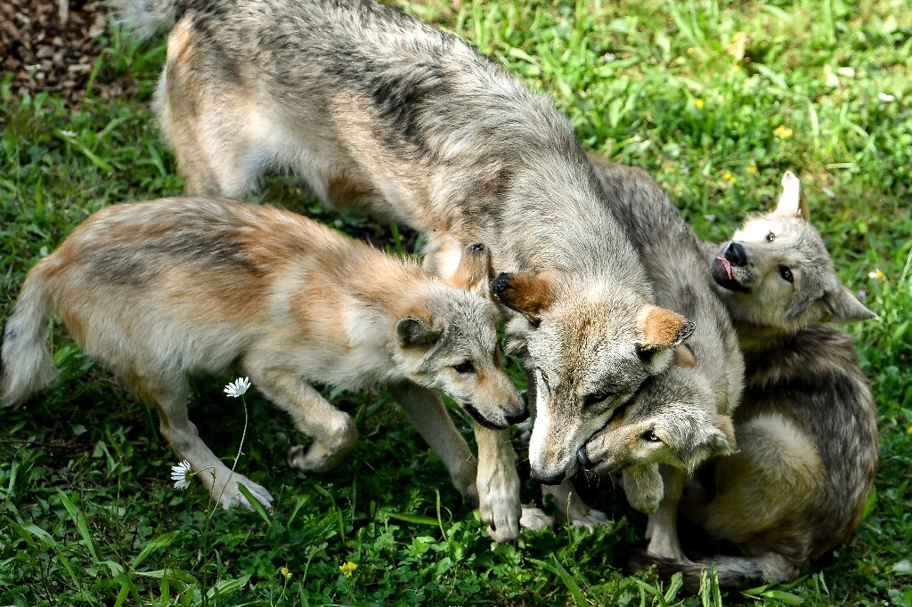 photo of US state reports first litter of wolf pups in 80 years image