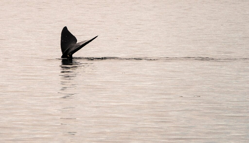 photo of Speeding ships killing endangered N. Atlantic right whales: study image