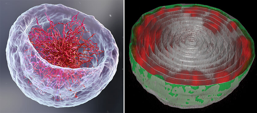 Novel imaging method reveals a surprising arrangement of DNA in the cell's nucleus