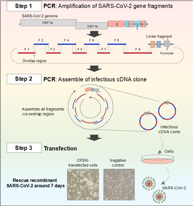 A new, fast and easy system for genetic analysis of SARS-CoV-2