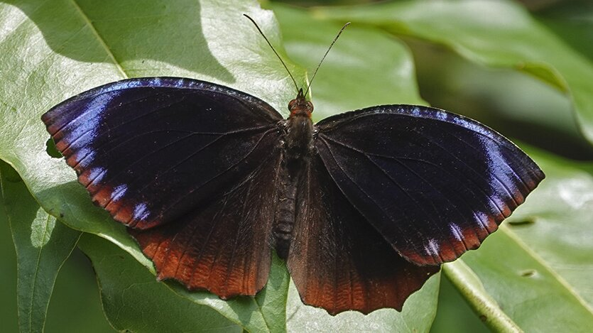 photo of Asian butterfly populations show different mimicry patterns thanks to genetic 'switch' image