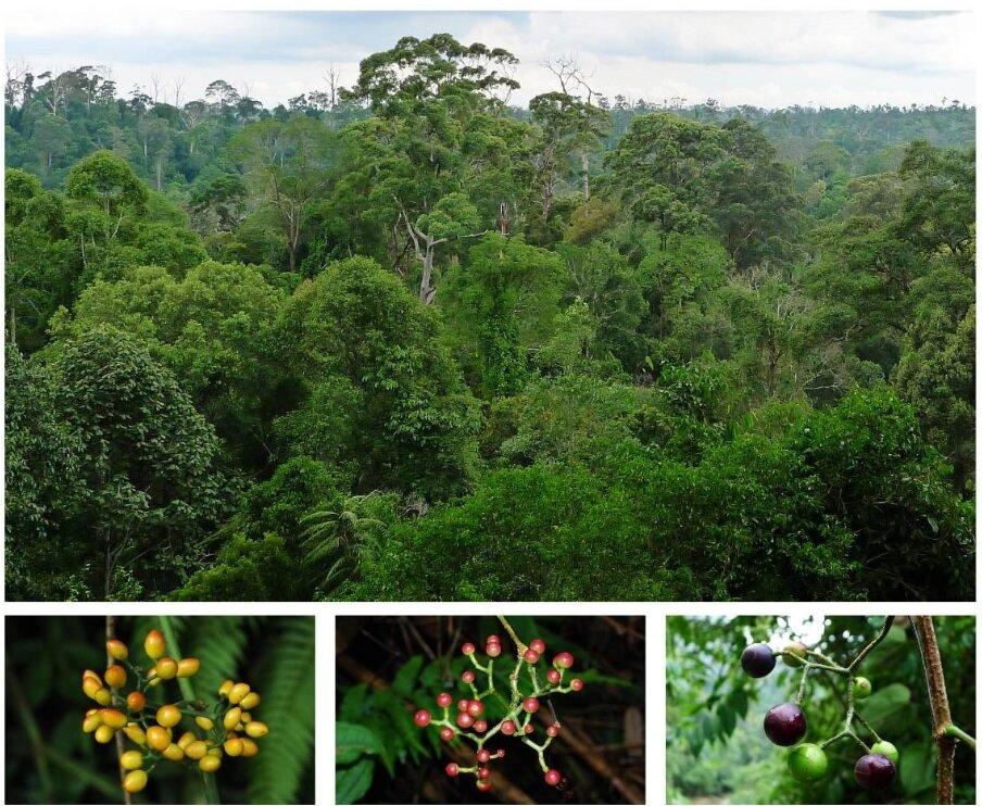 Biogeography of tetrastigma fleshes out Asia-Australian floristic alternate historical past