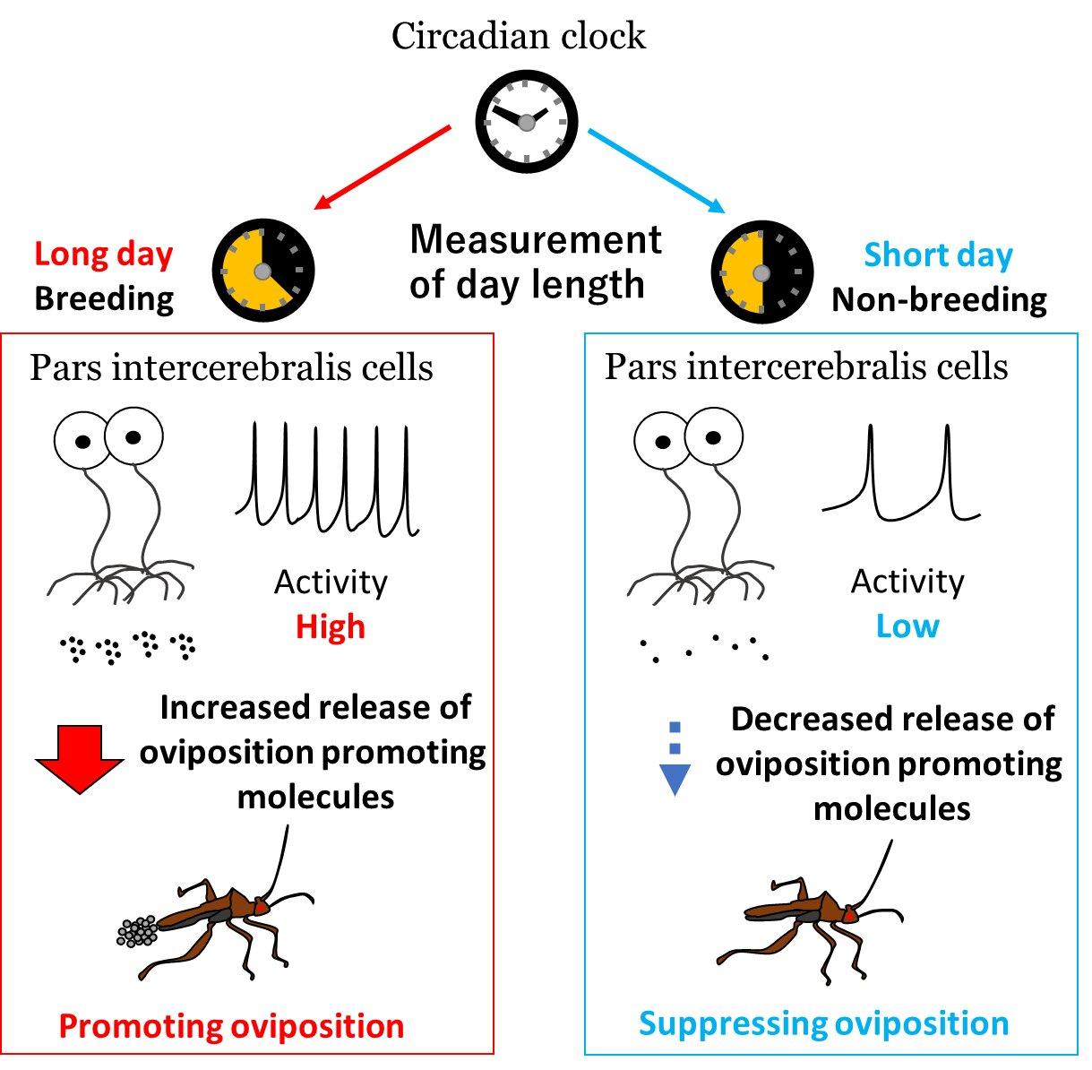 photo of Brain seasonality: Bean bug neurons need biological clock gene for seasonal egg-laying image