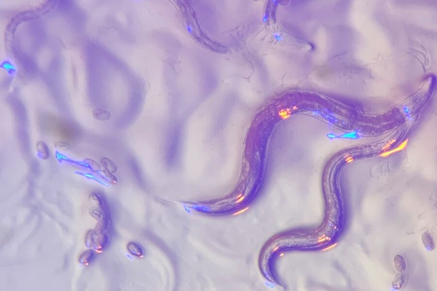 Roundworms 'read' wavelengths in the environment to avoid dangerous bacteria that secrete colorful toxins