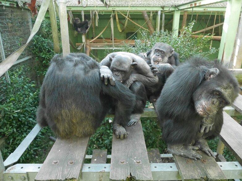 Chimpanzees unite against a common enemy