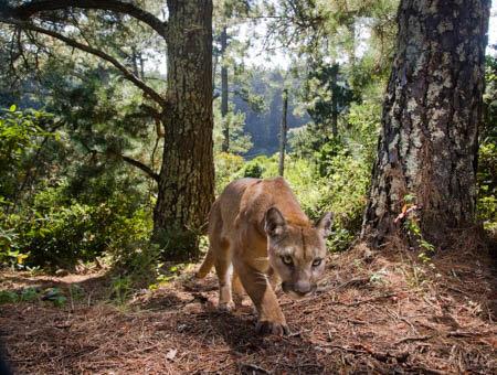Energy spent avoiding humans linked to smaller home ranges for male pumas