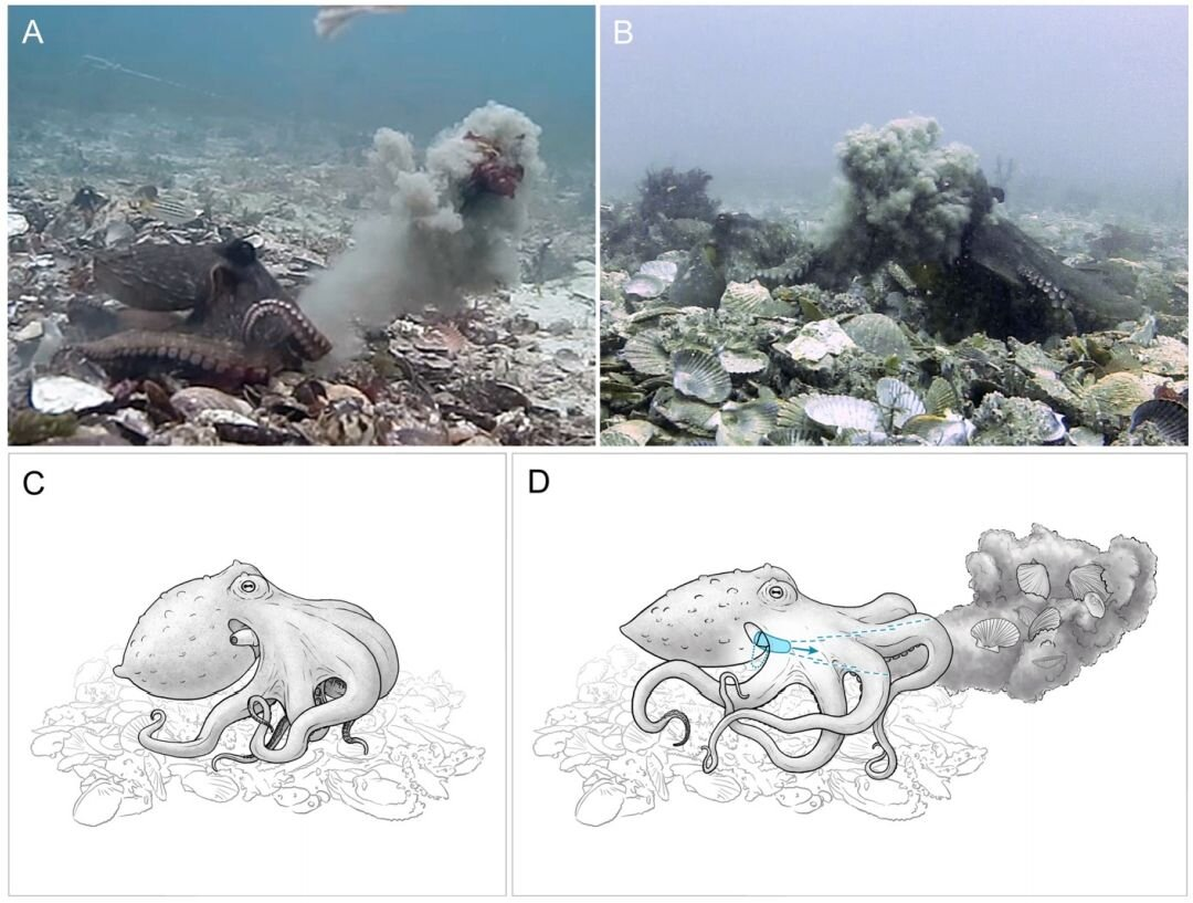 Female octopuses observed throwing stuff at males harassing them