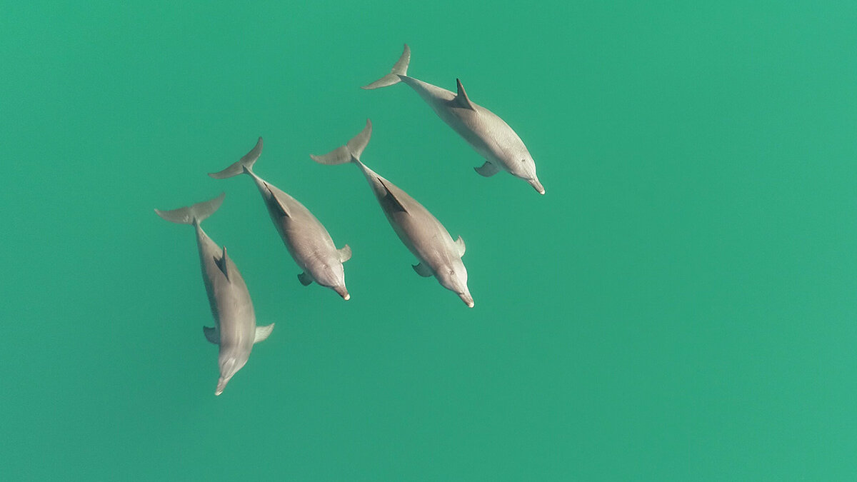 Collaborative male dolphins can tell who's on their team