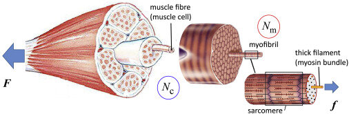 Mathematical model predicts best way to build muscle