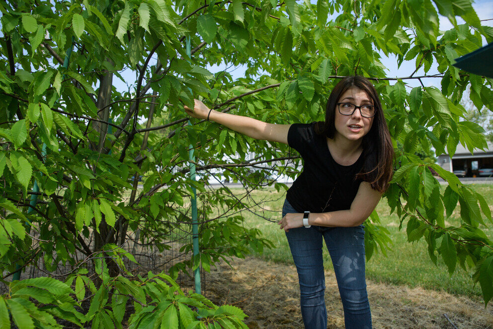 Researchers identify new threat to American chestnut trees