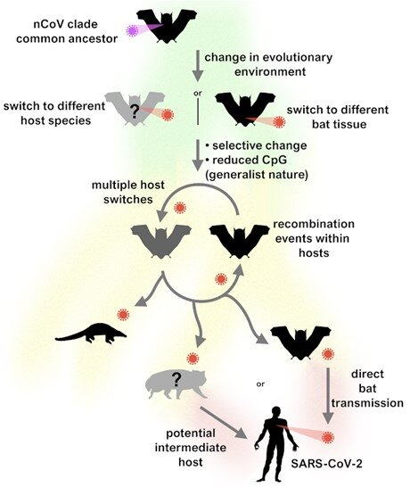SARS-CoV-2 jumped from bats to humans without much change - Phys.org