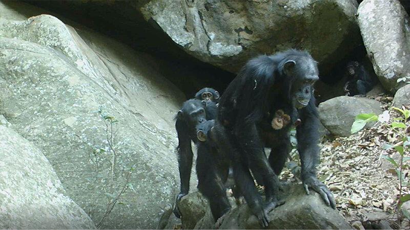 Savannas challenge preconceived notions of chimpanzee behavior