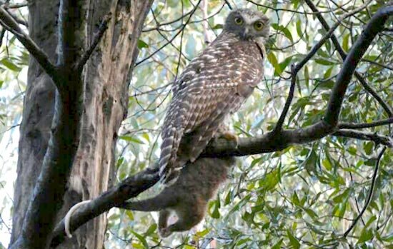 photo of Scientists call for improved management of a weedy tree to protect owl habitat image