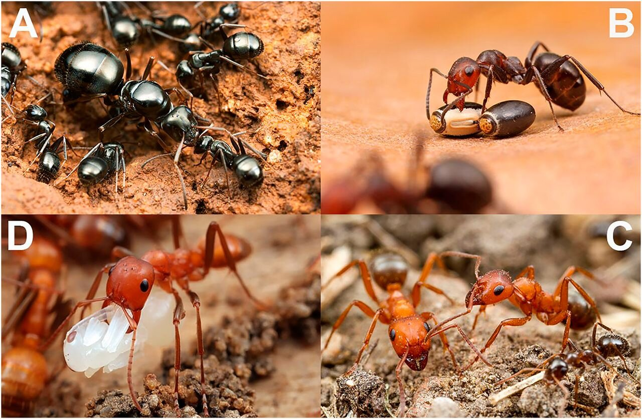 Scientists discover a host of reasons for the evolution of social parasites in ants