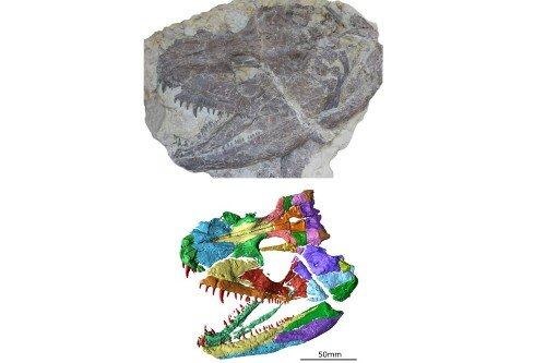 Skull of 340 million year old animal digitally recreated, revealing secrets of ancient amphibian
