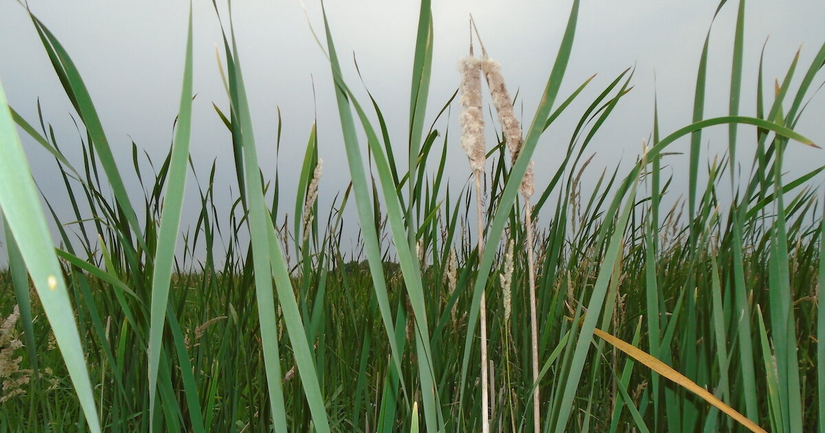 Constructed wetlands are best protection for agricultural runoff into waterways