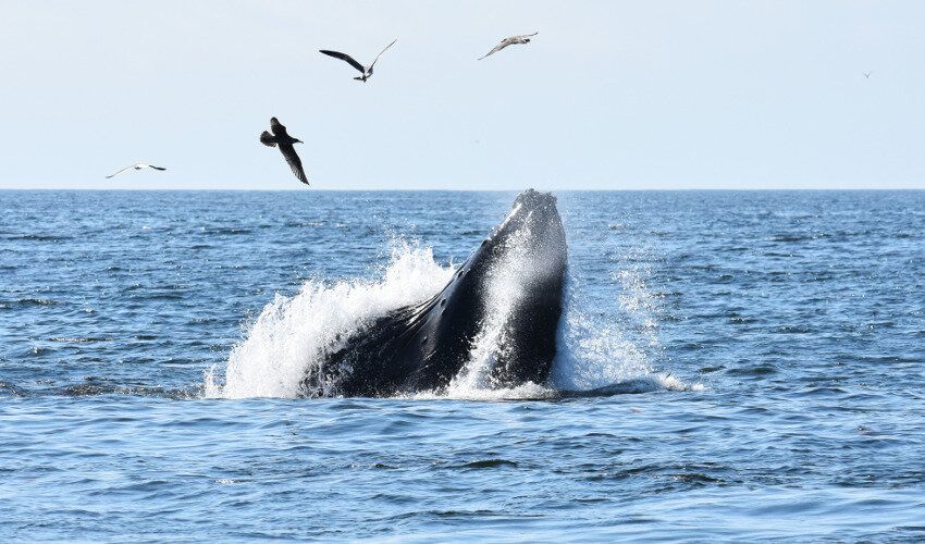 Study: Warm water 'blob' put whales on collision course with crab-fishing lines