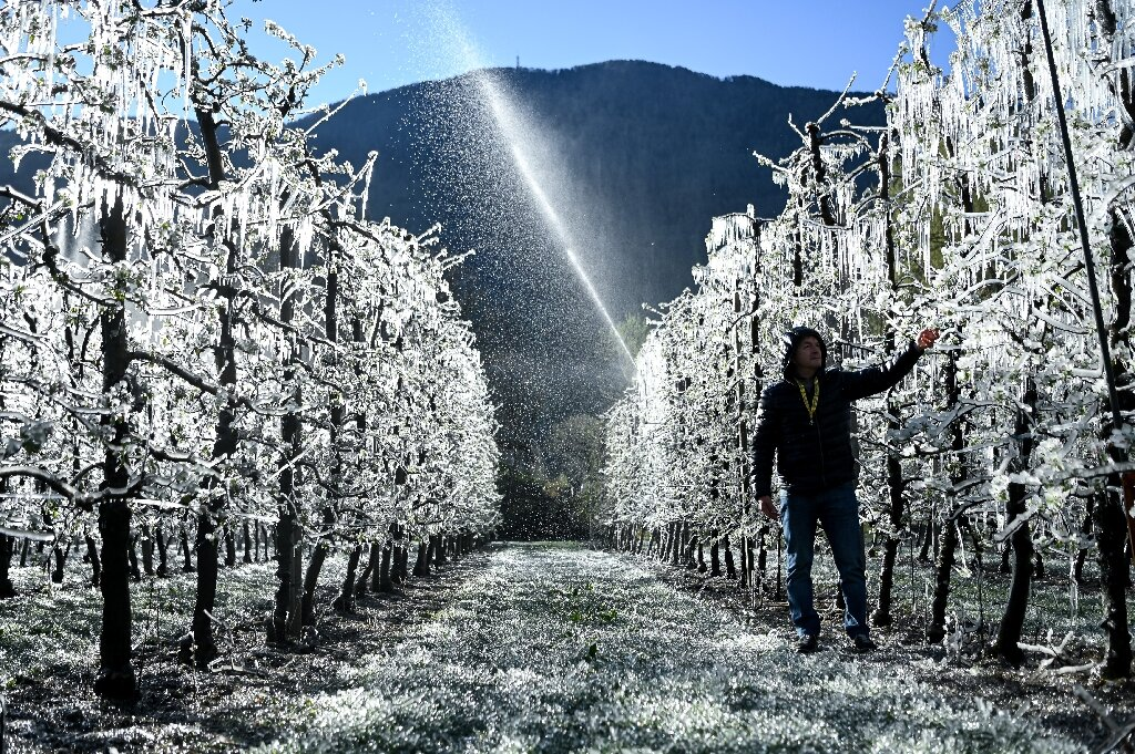 photo of Italy's sparkling apple trees are frozen to survive image