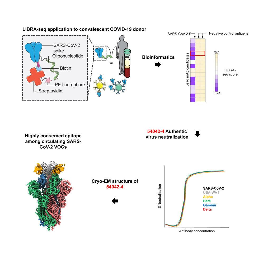 'Ultra-potent' antibody against COVID-19 variants
