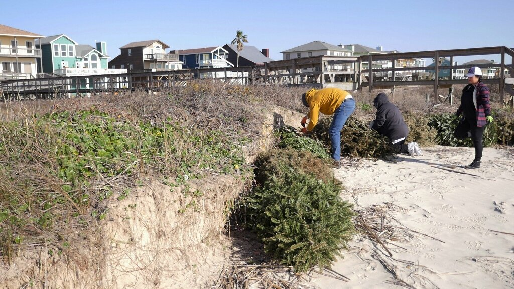 Recycling Artificial Christmas Tree In Abilene Tx 2021 Texas Coast Uses Christmas Trees To Rebuild Storm Ravaged Dunes