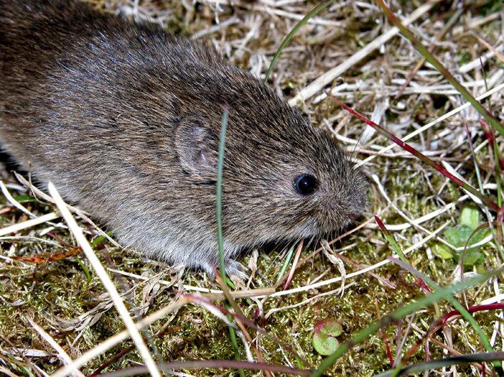 Study of voles on Arctic island advances knowledge of small-mammal population dynamics