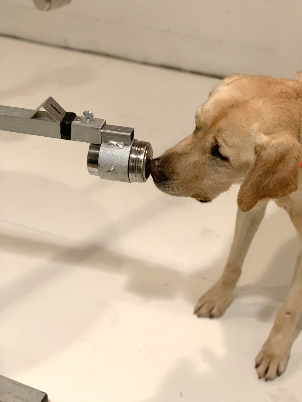 With impressive accuracy, dogs can sniff out coronavirus