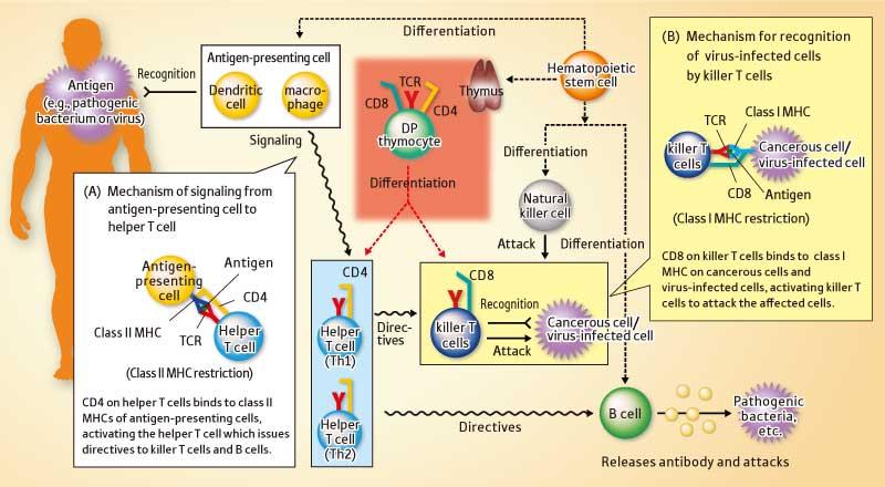 virus vs bacteria immune response