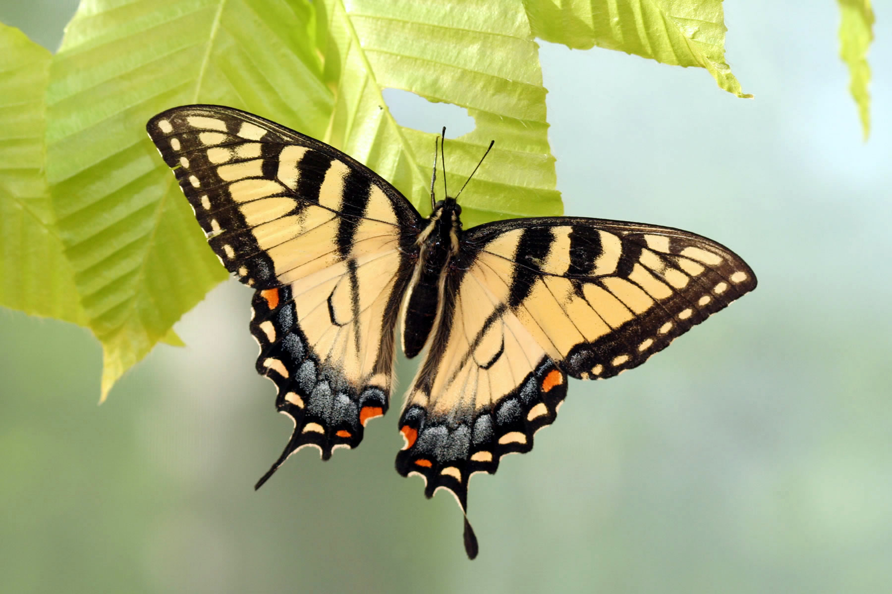 Appalachian tiger swallowtail butterfly is a hybrid of two