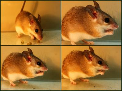 are seed based diets good for rodents