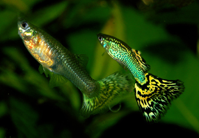 Research group suggests using guppies to control mosquitoes be ...