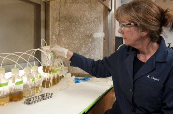 Pollution-fighting algae: Algae species holds potential for dual role as pollution reducer, biofuel source