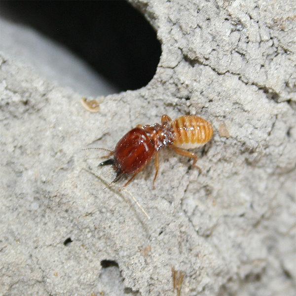 Termites Sacrifice Their Elderly In Ant Wars Study