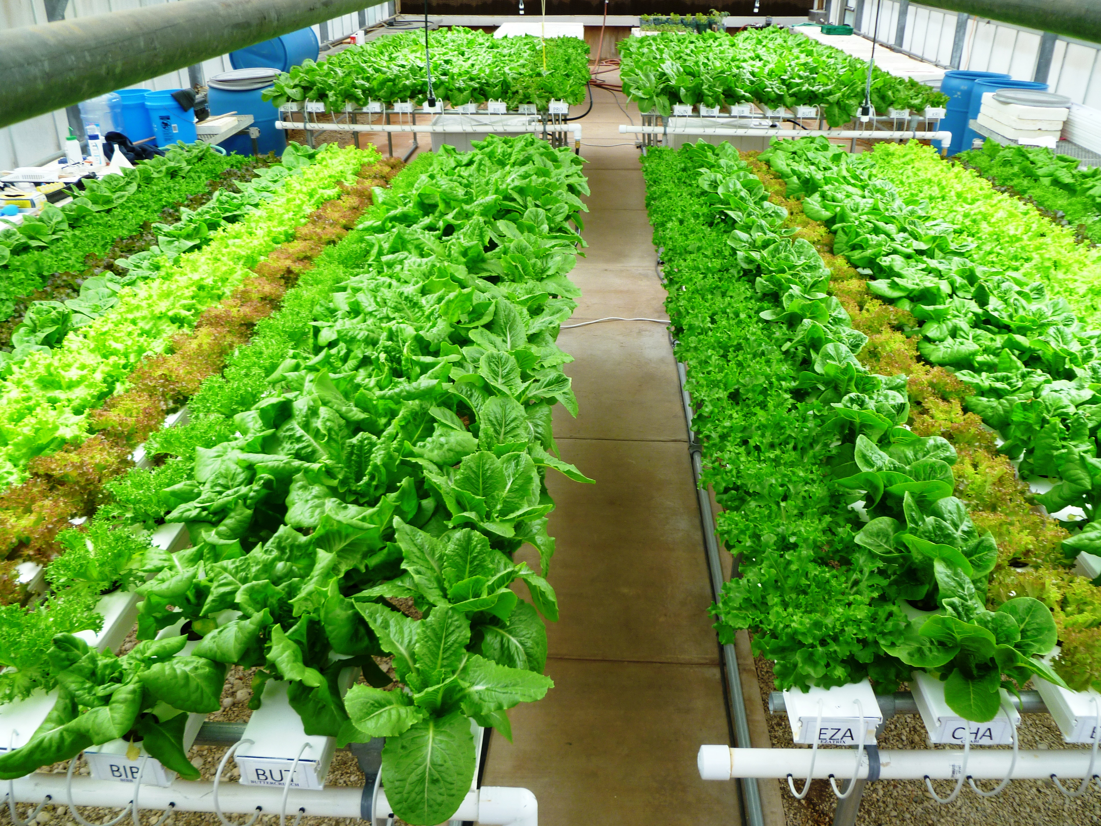 Growing High Value Lettuce With 85 To 90 Percent Water Savings