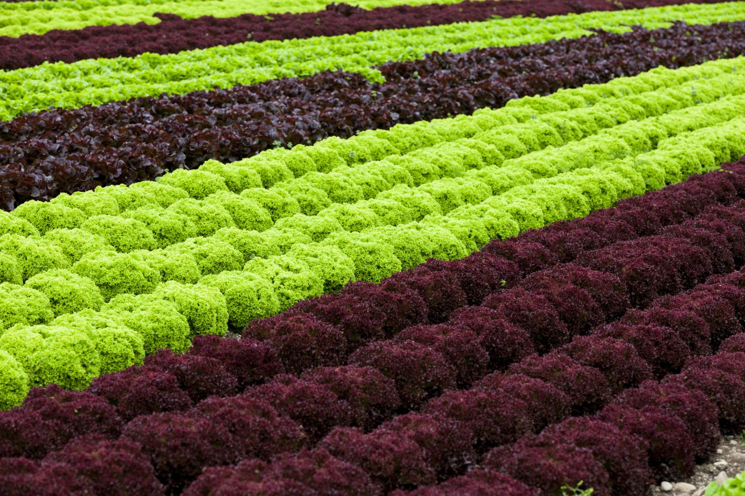 Lettuce Quality Is Improved By Modifying Its Growing Conditions
