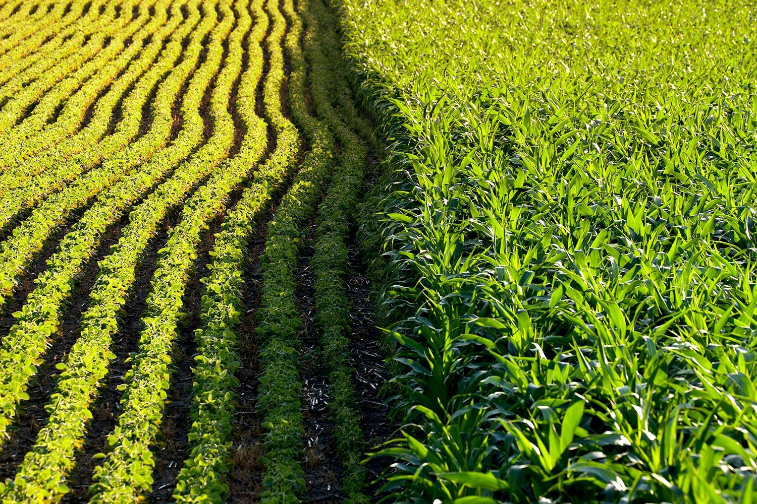 The Policy Of Genetically Modified Crops