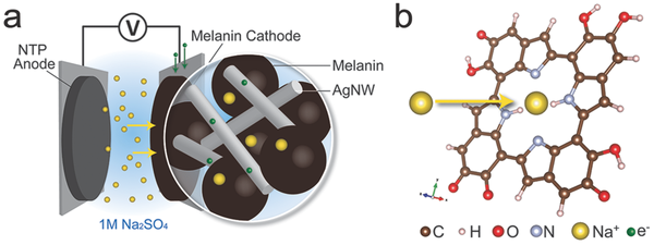 Researchers discover melanin could make for great batteries