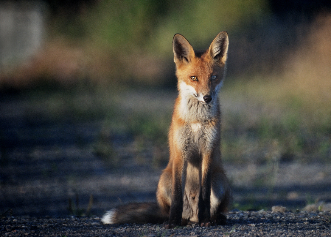 No wonder fox hunting is still prevalent – the ban is