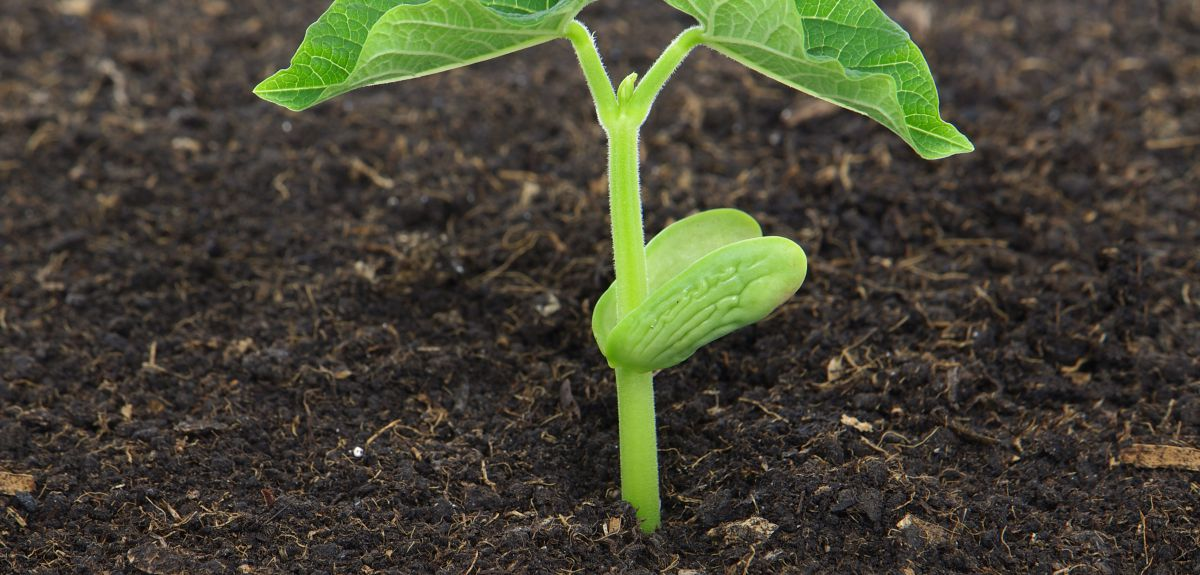 How Parts Of A Plant Can Talk To One Another For The Benefit Of