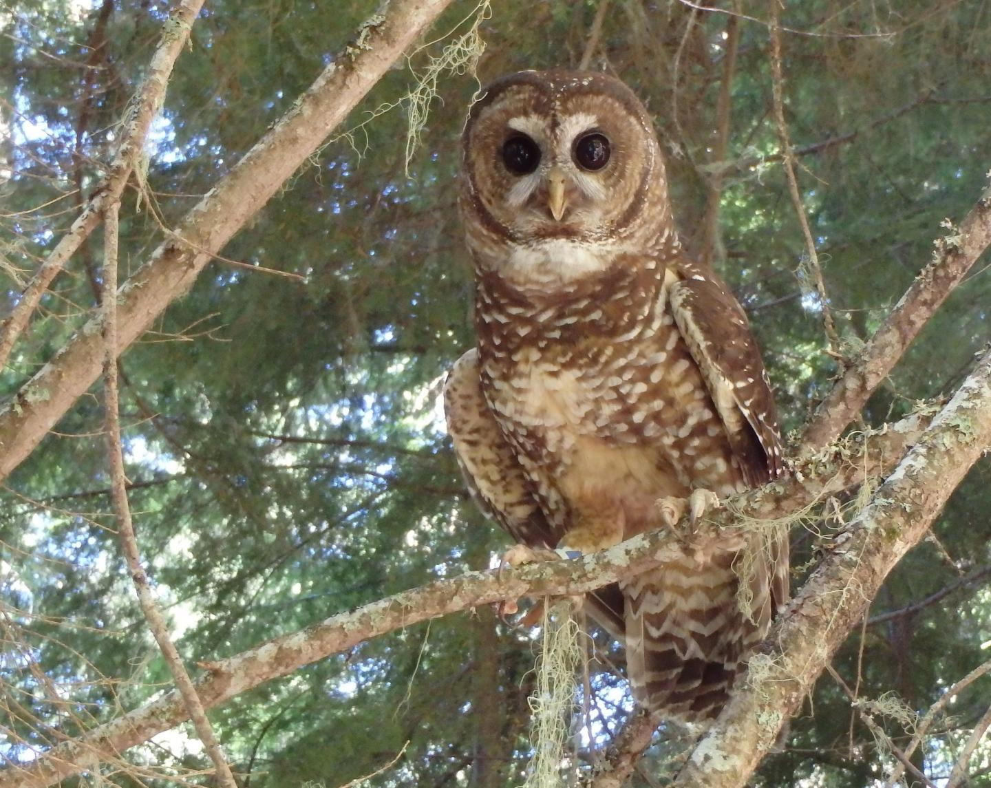 Model explains barred owls' domination over northern spotted