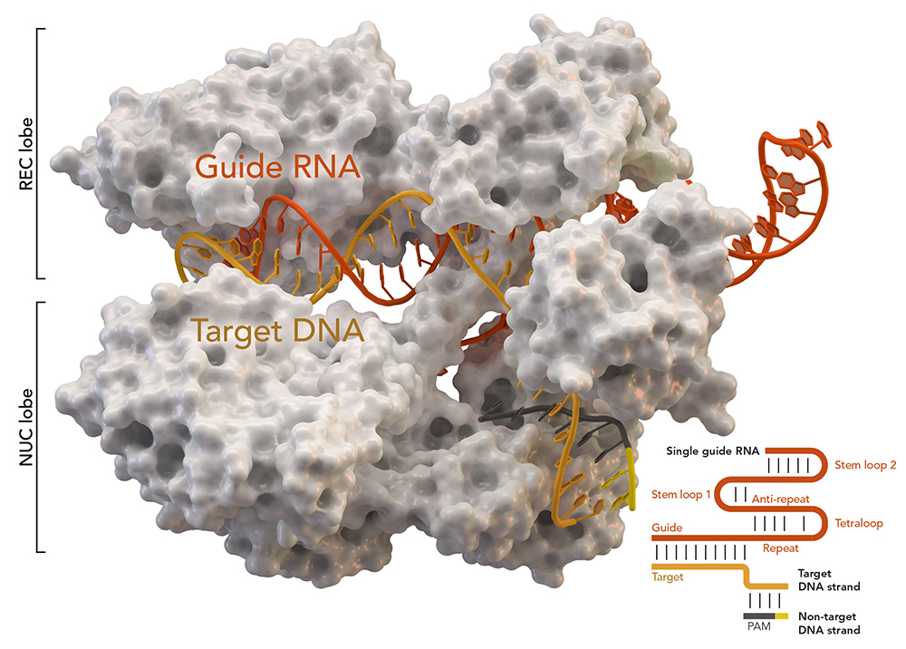 New method to detect off-target effects of CRISPR
