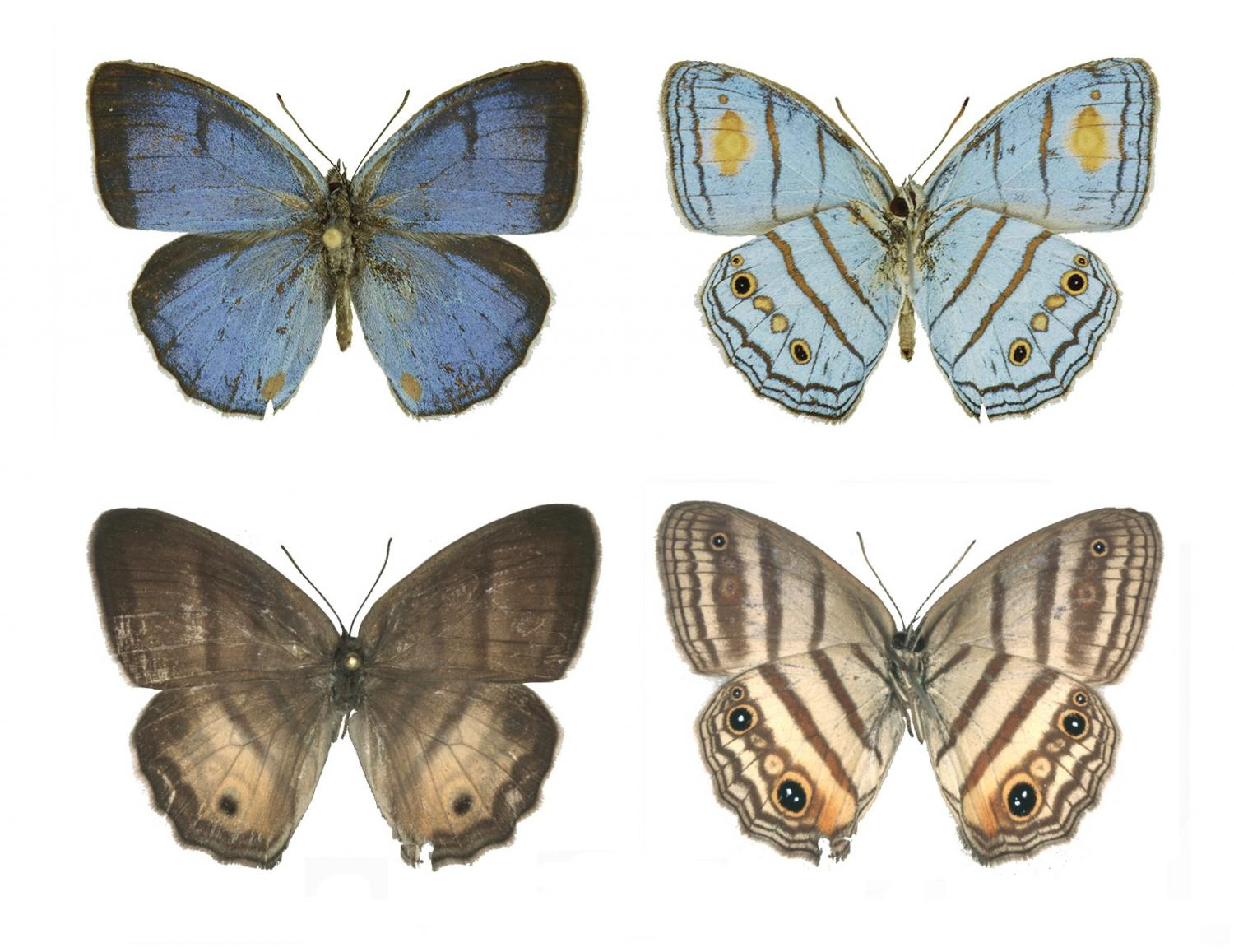The iridescent blue male sunburst cerulean-satyr, Caeruleuptychia helios, top, was not linked with its female counterpart, bottom, until DNA bar codes showed they were the same species. Credit: Florida Museum of Natural History, photo by Shinichi Nakahara